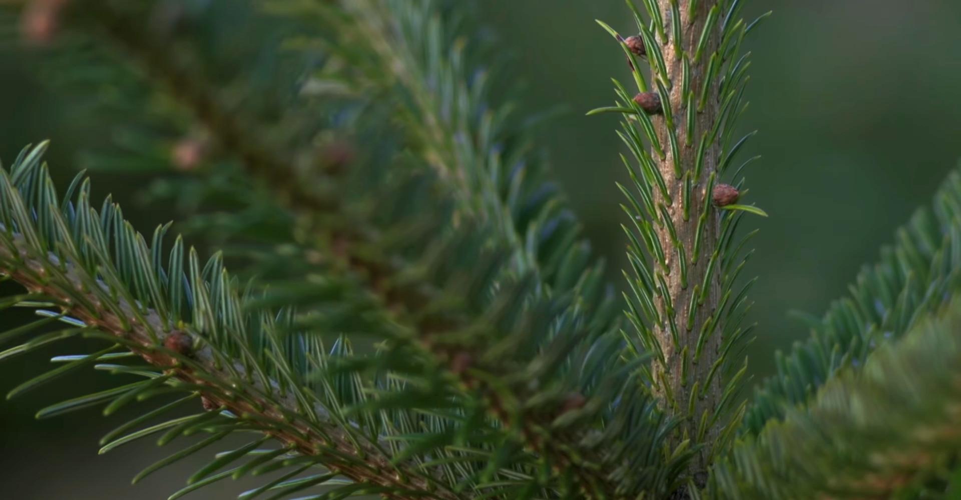 De mooiste Nordmann Excellent kerstbomen in Leimuiden vanaf € 15,-