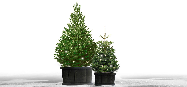 Nordmann kerstboom in kist met verlichting voor buiten bestellen in Leimuiden
